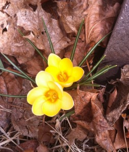 yellow crocus photo